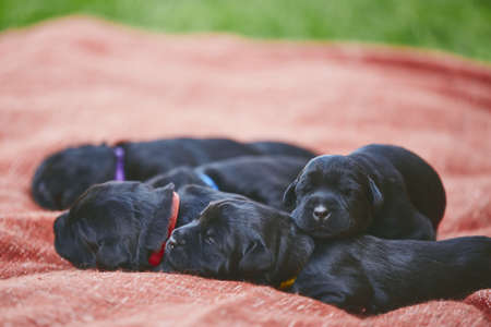 Newborns of dog (10 days old). Puppies siblings of purebred Giant Schnauzer lying on blanket.