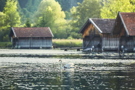 Mother swan with newborn cygnets on Lake Kochelsee against boathouses - Bavaria, Germany
