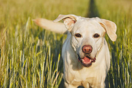 Happy dog in countryside. Labrador retriever walking on the path in field. Stock Photo