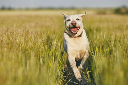 Happy dog in countryside. Labrador retriever running on the path in field.