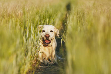 Happy dog in countryside. Labrador retriever hiding on the path in field. Stock Photo