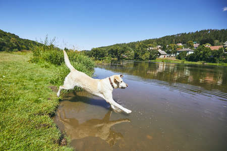 Summer time with dog in countryside. Yellow labrador jumping into river against village.