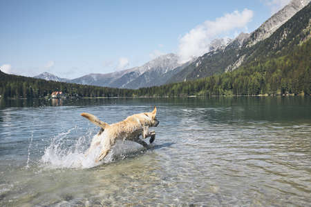 Dog in mountains. Happy labrador retriever running in lake. Alps, Italy