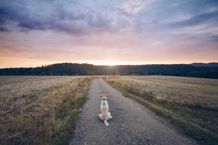 Widok z tyłu smutnego psa. Lojalny labrador retriever czeka na wiejskiej drodze o zachodzie słońca. Zdjęcie Seryjne