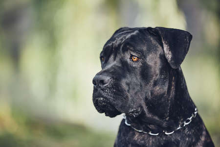 Portrait of guard dog (cane corso) in front of chalet during summer day.