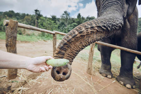 Hand with banana feeding to elephant. Chiang Mai Province, Thailand.
