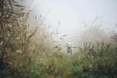 Perro en niebla sombría. Perro perdiguero de labrador triste con el palillo en la boca en el prado en otoño. Foto de archivo