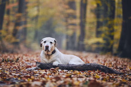 Sad dog in autumn forest. Old labrador retriever lying on pathway with stick.