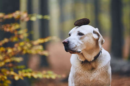 Dog in autumn forest. Funny portrait of labrador retriever with pine cone on head.