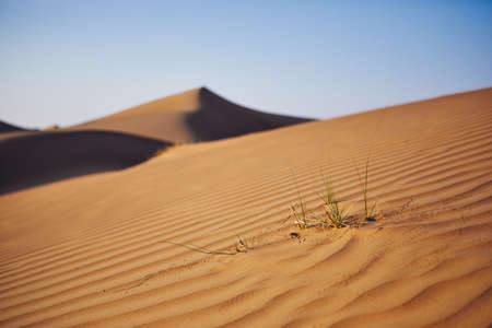 Close-up view of grass on sand dune against clear blue sky. Wahiba Sands in Oman.