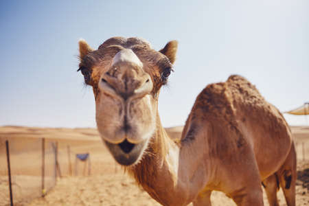 Close-up view of curious camel against sand dunes of desert, Sultanate of Oman. Reklamní fotografie - 113363454