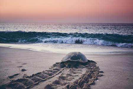 Enorme groene schildpad die teruggaat naar de oceaan. Unieke broedplaats in Ras Al Jinz, Sultanaat van Oman.