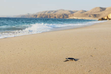 Freshly hatched turtle on the way across beach into sea. Ras Al Jinz, Sultanate of Oman.