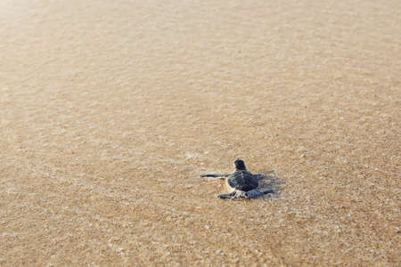 Freshly hatched turtle on the way across beach into sea. Ras Al Jinz, Sultanate of Oman.