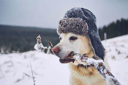 Funny portrait of dog in winter landscape. Labrador retriever with cap on his head.