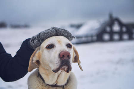 Friendship between pet owner and his old dog. Hand stroking labrador retriver in winter landscape.