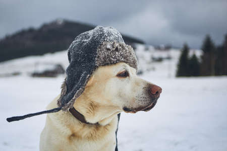 Funny portrait of dog in frosty wintry landscape. Labrador retriever with cap on his head.
