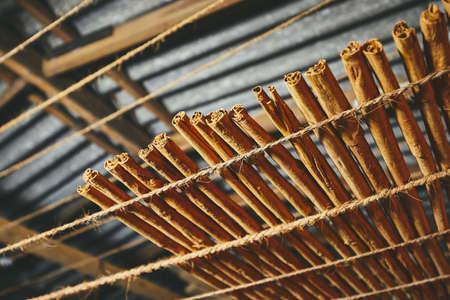 Drying of the cinnamon sticks in small workshop in Sri Lanka