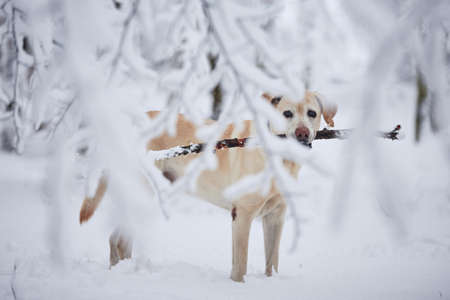 Dog in winter. Portrait of labrador retriever with stick in snow covered forest. Stock Photo