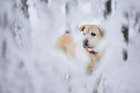 Dog in winter. Portrait of old labrador retriever in snow covered forest. Stock Photo