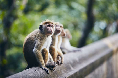 Group of cute monkeys sitting on wall against forest. Dambulla, Sri Lanka.