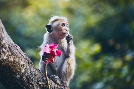 Cute monkey sitting on branch and eating flower. Dambulla, Sri Lanka.