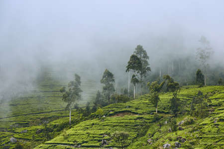 Tea plantation in clouds. Agriculture landscape near Haputale in Sri Lanka.