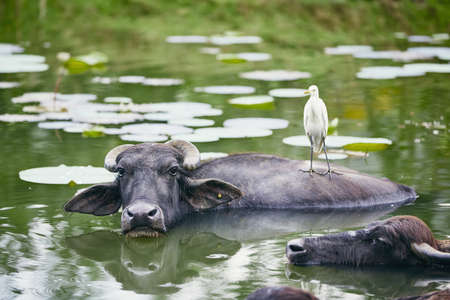 Symbiotic relationship between water buffalo and bird in lake. Nature in Sri Lanka.