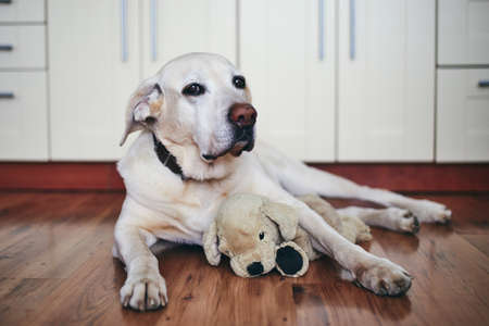 Old dog in home kitchen. Labrador retriver resting with his plush toy.