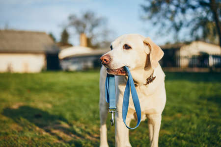 Dog holding leash in mouth. Cute labrador retriever waiting for walk on back yard of house.