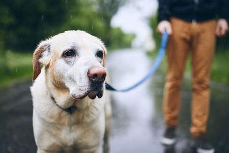 Cane bagnato al guinzaglio. Uomo che cammina con il labrador retriever sotto la pioggia. Archivio Fotografico