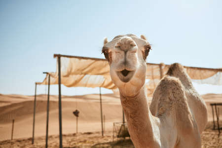 Portrait of curious camel against sand dunes of desert, Sultanate of Oman.