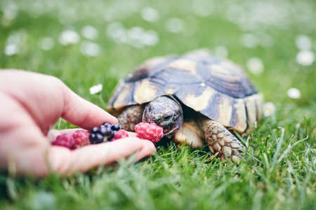 Raspberry and blackberry for home turtle. Close-up view of hand with fruit for domestic pet in grass on back yard. Banco de Imagens