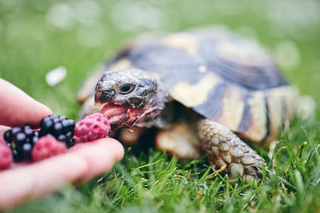 Raspberry and blackberry for home turtle. Close-up view of hand with fruit for domestic pet in grass on back yard. Banque d'images - 127508102