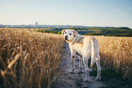 Dog in heat summer day. Labrador retriever walking on path in wheat field.