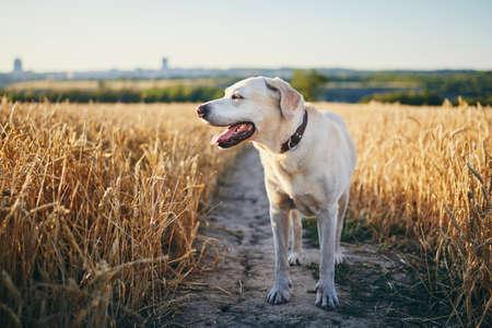 Dog in heat summer day. Labrador retriever walking on path in wheat field.