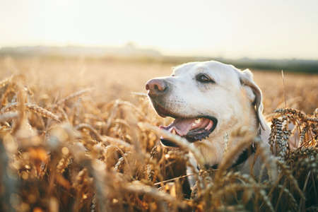 Dog in heat summer day. Portrait of labrador retriever in wheat field at sunset.