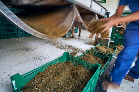 Worker holding dried tea leaves in hands. Production line inside tea factory, Sri Lanka.