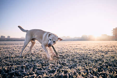 Dog on field at frosty morning.  Labrador retriever playing with stick against city. Prague, Czech Republic.