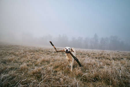 Dog on field at frosty morning. Labrador retriever running with stick against landscape in fog.