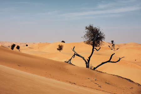 Dry tree in the middle of sand dunes against desert landscape. Abu Dhabi, United Arab Emirates