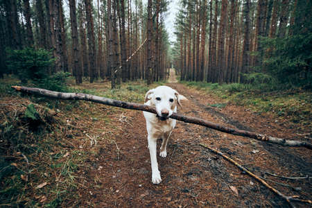 Dog on pathway in the middle of forest. Labrador retriever carrying stick in mouth.