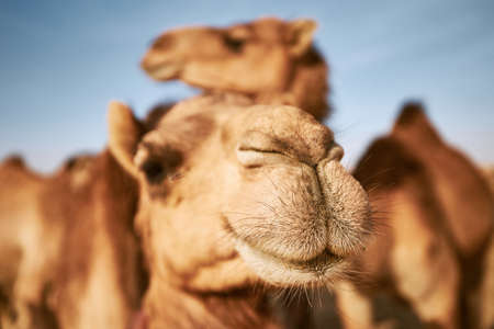 Close-up view of camel in desert. Abu Dhabi, United Arab Emirates 写真素材