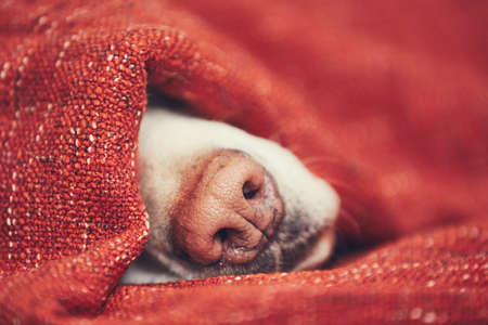 Close-up view of dog snout. Labrador retriever sleeping wrapped in blanket at home. Imagens