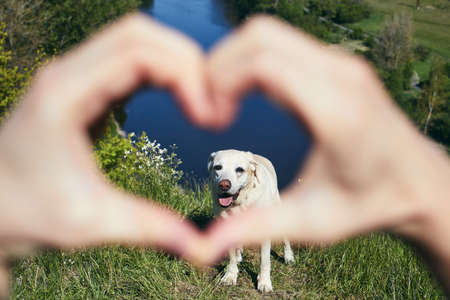 Hands of pet owner making heart shape against cute dog (labrador retriever) in nature.