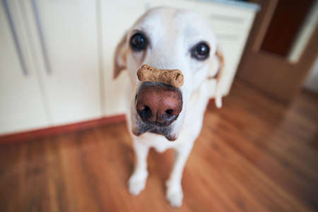 Funny labrador retriever balancing dog biscuit with bone shape on his snout.