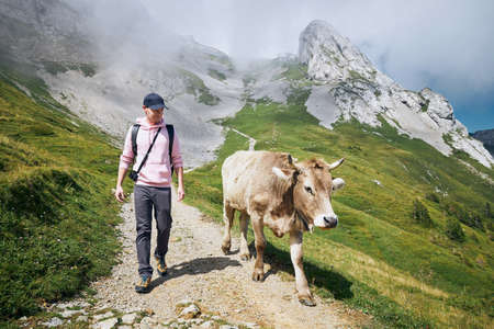 Young man walking with swiss cow on mountain footpath. Mount Pilatus, Lucerne, Switzerland.