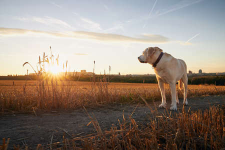 Lonely old dog on path. Sad labrador retriver looking at sunset. Stockfoto