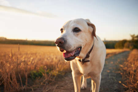 Old dog at sunset. Labrador retriever walking on footpath.
