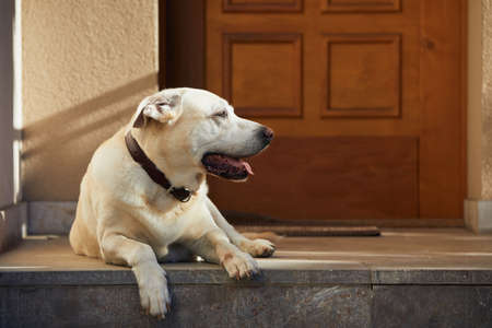 Cute dog against door. Old labrador retriver resting in front of house. Stockfoto